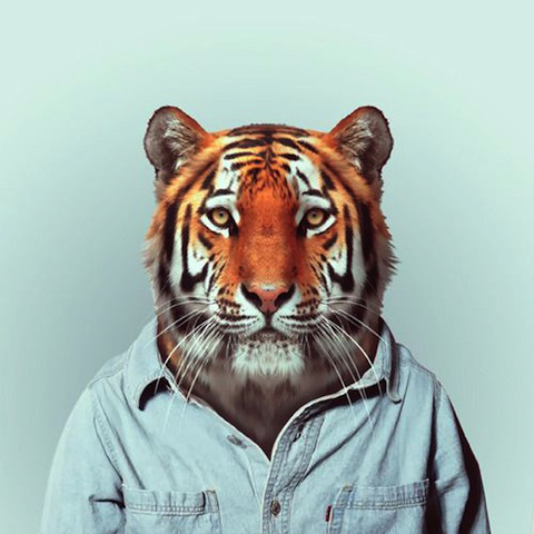 tiger-zoo-animals